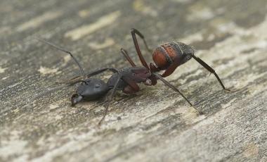 Hormiga - Fotografía Macro